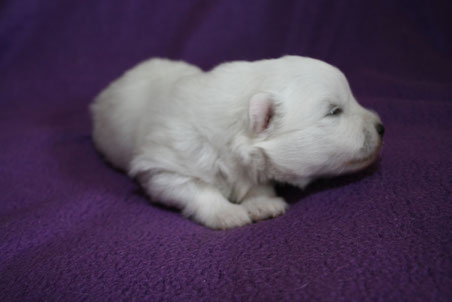 Weißer Rüde