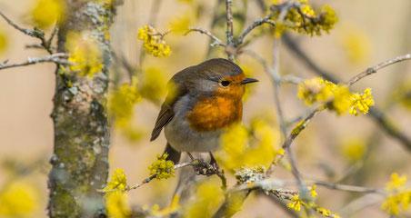 Vogel Frühling Rotkehlchen Farben Emanuel Niederhauser pic4you