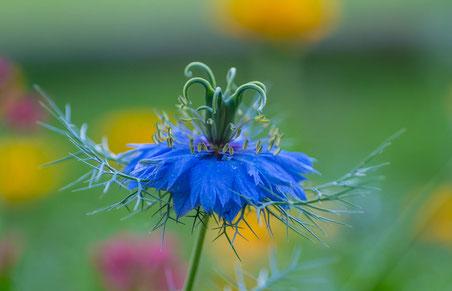 Makro Blume Blau Farben Emanuel Niederhauser pic4you