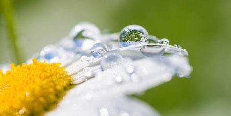Margerite Wasser Makro Regen Emanuel Niederhauser pic4you