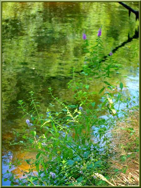 Salicaire Commune et reflets en bordure de La Leyre, Sentier du Littoral au lieu-dit Lamothe, Le Teich, Bassin d'Arcachon (33)