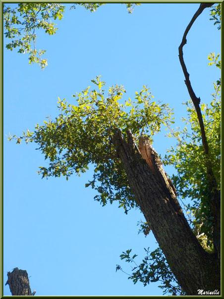 Renaissance d'un chêne après une tempête, sur le sentier bordant La Leyre, Sentier du Littoral au lieu-dit Lamothe, Le Teich, Bassin d'Arcachon (33)