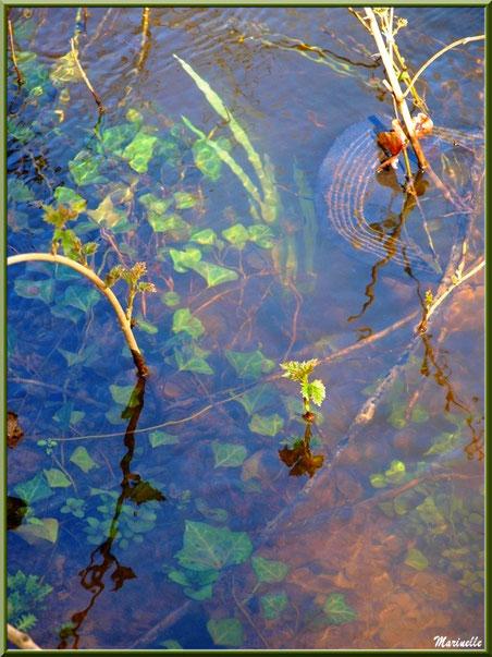Lierre, jeunes pousses et reflets au coeur de La Leyre, Sentier du Littoral au lieu-dit Lamothe, Le Teich, Bassin d'Arcachon (33)