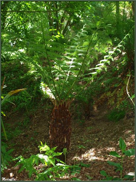 Le sentier de la Vallée du Bas : Cyatheale ou Fougère Arborescente - Les Jardins du Kerdalo à Trédarzec, Côtes d'Armor (22)