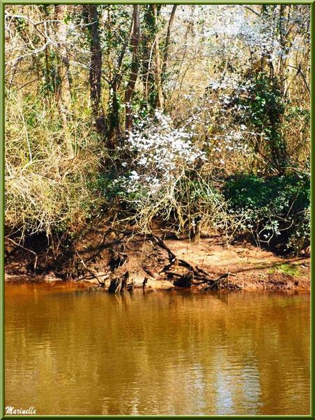 La Leyre, ses aubépines en fleurs et ses reflets en début de printemps, Sentier du Littoral au lieu-dit Lamothe, Le Teich, Bassin d'Arcachon (33)