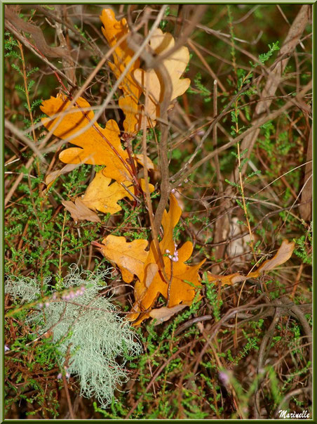 Bouquet de feuilles de chêne automnales et de bruyère avec touffe de lichen, forêt sur le Bassin d'Arcachon (33)