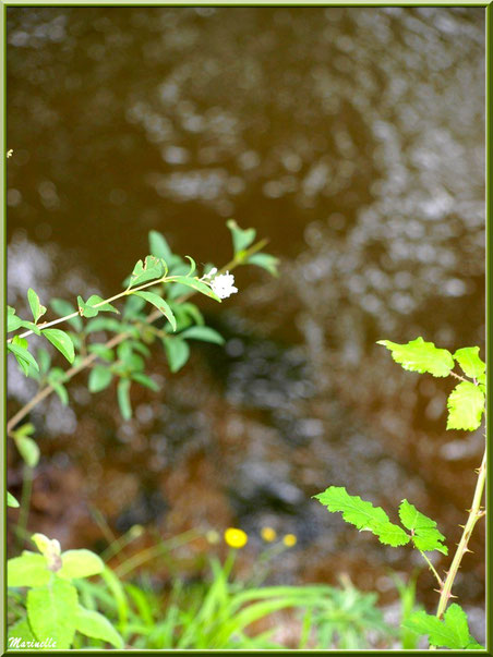 Végétation (troène en fleurs, roncier, boutons d'or) et reflets en bordure de La Leyre, Sentier du Littoral au lieu-dit Lamothe, Le Teich, Bassin d'Arcachon (33)