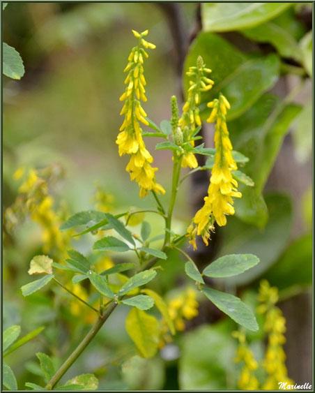 Mélilot jaune ou Mélilot officinal, flore sur le Bassin d'Arcachon (33)