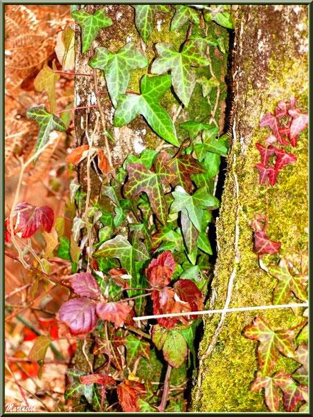 Fougères, roncier et lierre d'automne sur un tronc moussu, forêt sur le Bassin d'Arcachon (33)
