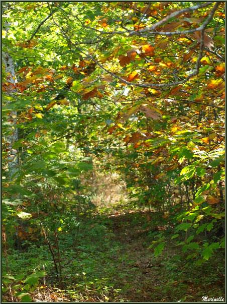 Sous-bois automnal en forêt sur le Bassin d'Arcachon (33)