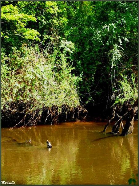 Végétation luxuriante, aubépines en fleurs et reflets en bordure de La Leyre, Sentier du Littoral au lieu-dit Lamothe, Le Teich, Bassin d'Arcachon (33)