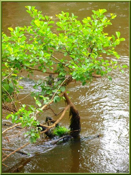 """Arbrisseau """"les pieds dans l'eau"""" au fil de La Leyre, Sentier du Littoral au lieu-dit Lamothe, Le Teich, Bassin d'Arcachon (33)"""