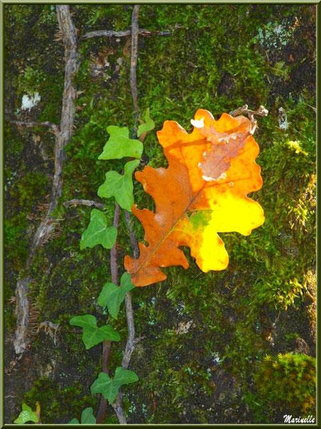 Guirlande de lierre et feuilles de chêne automnales posées sur un tronc moussu, forêt sur le Bassin d'Arcachon (33)