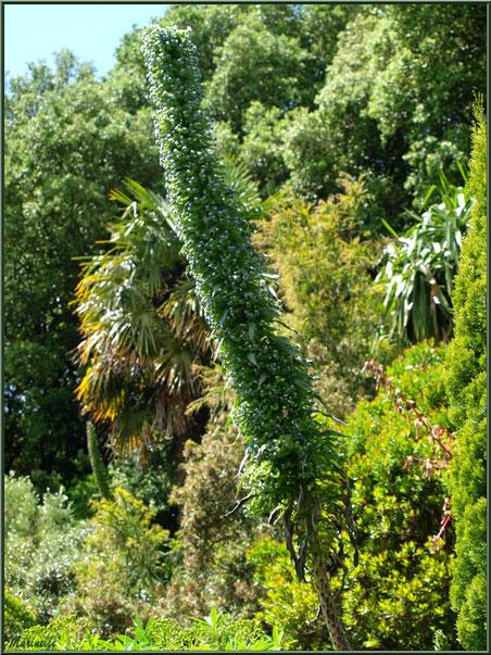 Les Terrasses : Echium pininana (Vipérine des Canaries) sur son immense tige - Les Jardins du Kerdalo à Trédarzec, Côtes d'Armor (22)