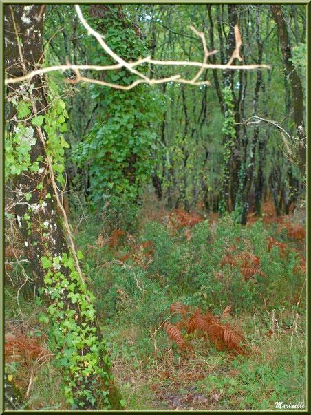 Méli mélo forestier : chênes au tronc envahi de lierre, fougères et autre végétation automnale, en forêt sur le Bassin d'Arcachon (33)