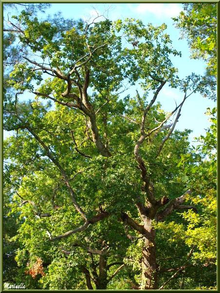 Vieux chênes en sous-bois, en forêt sur le Bassin d'Arcachon (33)
