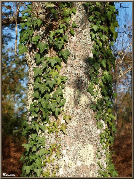 Lierre agrippé sur un tronc, forêt sur le Bassin d'Arcachon (33)