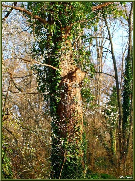 Arbrisseau et ses fleurs printanières parmi les chênes, sur le sentier bordant La Leyre, Sentier du Littoral au lieu-dit Lamothe, Le Teich, Bassin d'Arcachon (33)