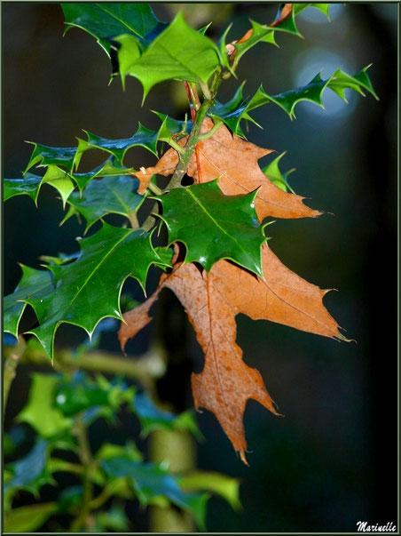 Feuille de chêne et houx en tenue automnale, forêt sur le Bassin d'Arcachon (33)
