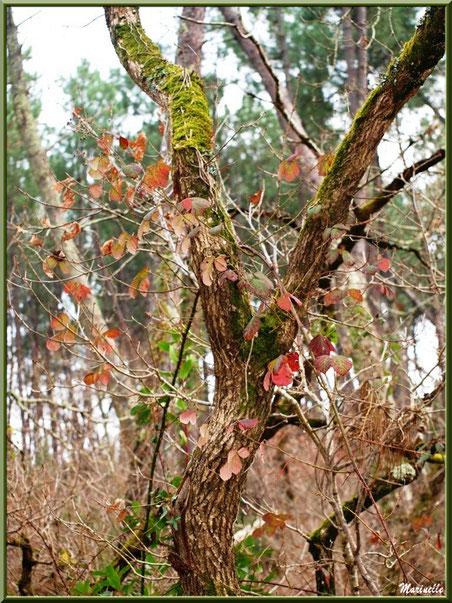Méli mélo forestier : chêne et roncier, forêt sur le Bassin d'Arcachon (33)