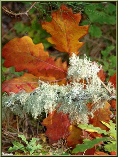 Feuilles de chêne automnales, branche de pin et mousse du chêne, forêt sur le Bassin d'Arcachon (33)