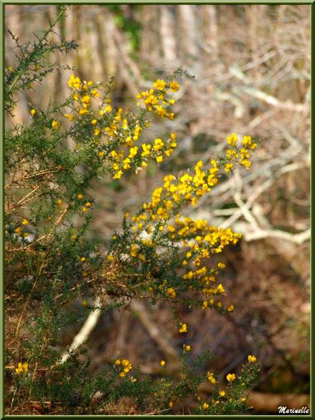 Ajonc en fleurs sur le sentier bordant La Leyre, Sentier du Littoral au lieu-dit Lamothe, Le Teich, Bassin d'Arcachon (33)