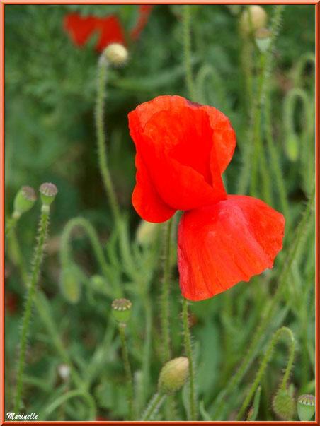 Coquelicot ou Pavot des Champs ou Pavot Sauvage ou Pavot Rouge ou Pavot Coq ou Mahon ou Ponceau ou Poinceau, flore Bassin d'Arcachon (33)