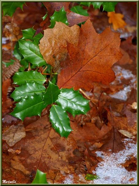 Branche de houx et feuilles de chêne sur reste de tapis neigeux, forêt sur le Bassin d'Arcachon (33)