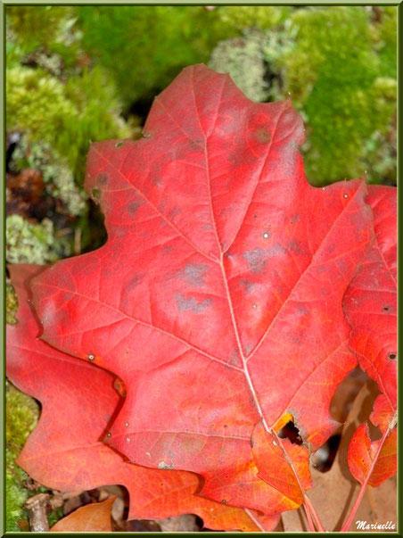 Feuilles de chêne automnales sur tapis de mousse, forêt sur le Bassin d'Arcachon (33)