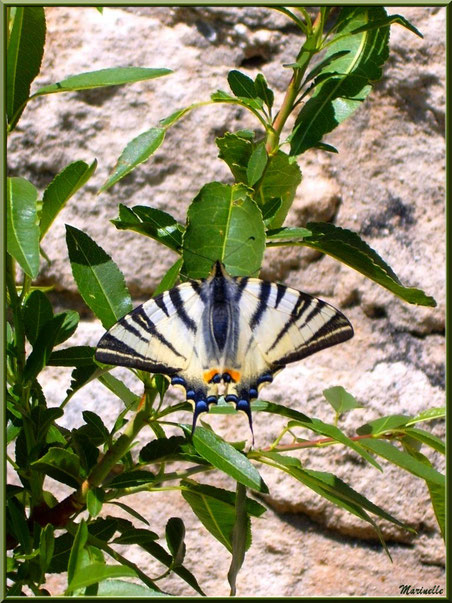 Papillon Machaon ou Grand porte-queue