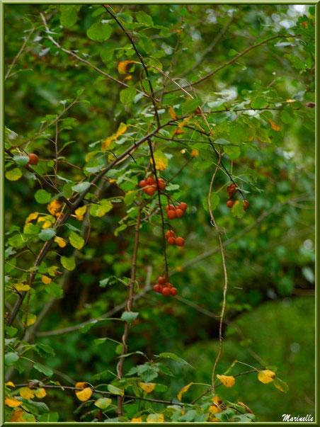 Arbrisseau et ses fruits, sur le sentier bordant La Leyre, Sentier du Littoral au lieu-dit Lamothe, Le Teich, Bassin d'Arcachon (33)