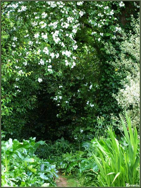 Les Terrasses et un Hoheria sextylosa avec sa multitude de fleurs blanches - Les Jardins du Kerdalo à Trédarzec, Côtes d'Armor (22)