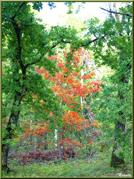 Chênes en sous-bois en début d'automne en forêt sur le Bassin d'Arcachon (33)