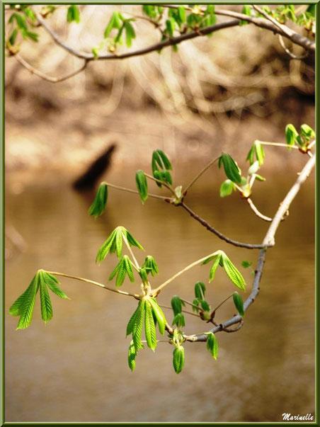 Marronniers aux feuilles printanières en bord de La Leyre, Sentier du Littoral au lieu-dit Lamothe, Le Teich, Bassin d'Arcachon (33)