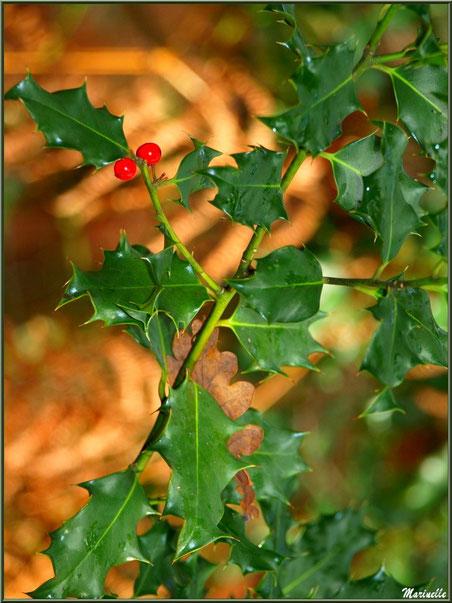 Branche de houx fleuri, feuille de chêne épinglée sur fond de fougères automnales, forêt sur le Bassin d'Arcachon (33)