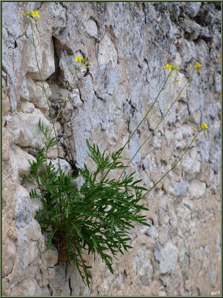 Fleurettes poussant dans un mur au détour d'une ruelle à Talmont-sur-Gironde, Charente-Maritime