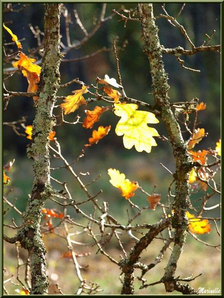 Dernières feuilles automnales de chêne à l'entrée de l'hiver, forêt sur le Bassin d'Arcachon (33)