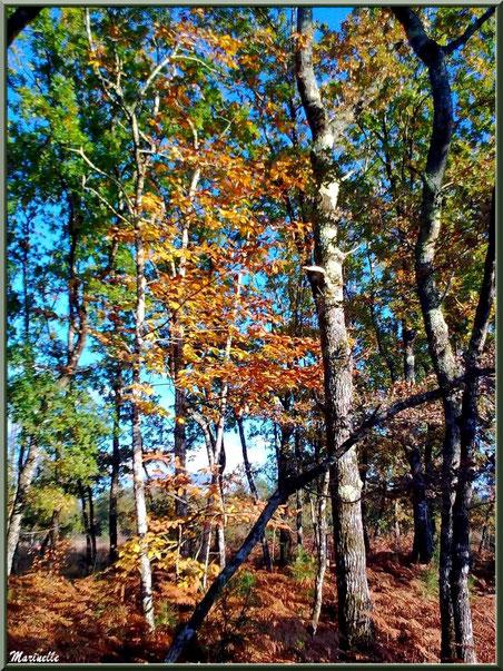 Marronnier automnal parmi les chênes et pins, forêt sur le Bassin d'Arcachon (33)