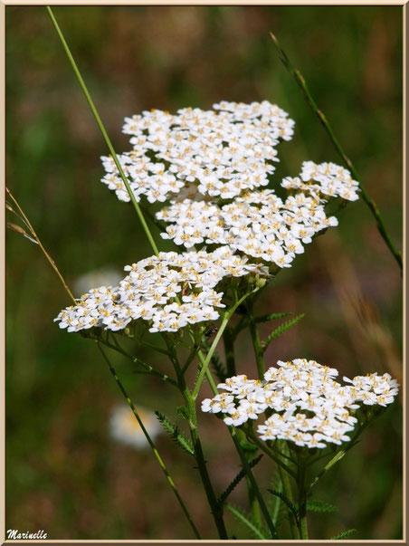Achillée Millefeuille, flore sur le Bassin d'Arcachon (33)