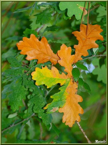 Feuilles de Chêne en période début automne en forêt sur le Bassin d'Arcachon (33)