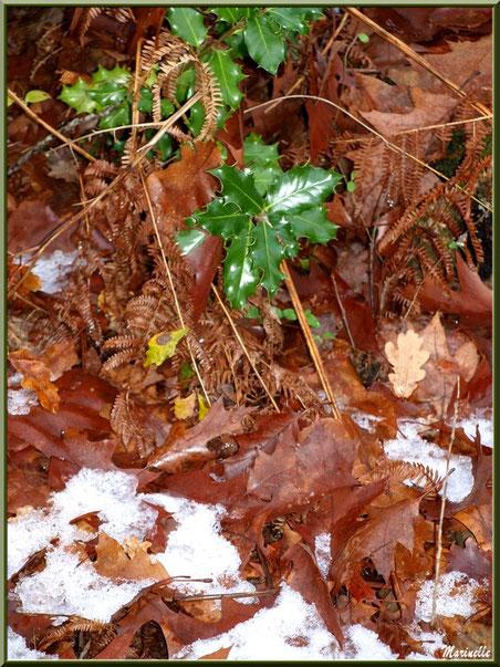 Branche de houx, feuilles de chêne et fougères sur reste de tapis neigeux, forêt sur le Bassin d'Arcachon (33)