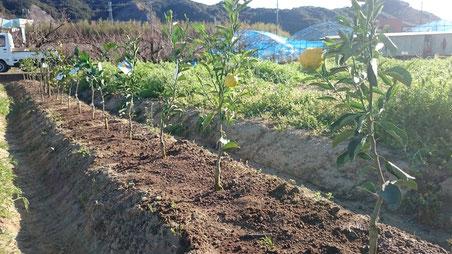 育成園地【ファーム】にて苗木育成中