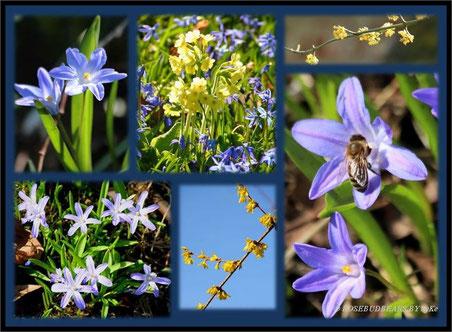 Schneestolz (lat. Chionodoxa luciliae) gibt es außer in Blau auch in Rosa und Weiß