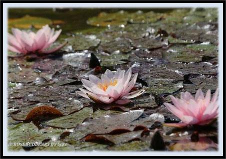 Seerosen - das Versprechen einer Erfrischung