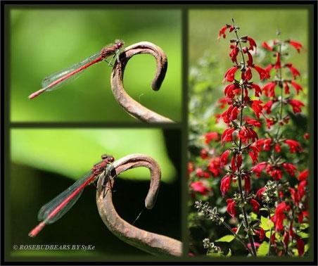 eine rote Adonislibelle - und Feuersalbei