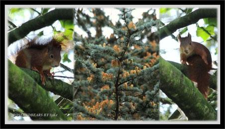 Zedernblüte Eichhörnchen