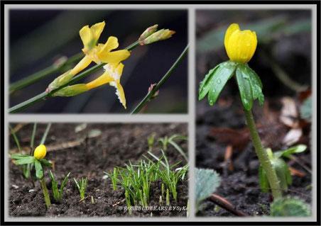 erste Blüten Winterling Winterjasmin
