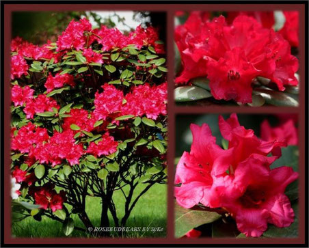 Rhododendron Repens Hybride