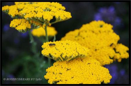 Gelbe Schafgarben