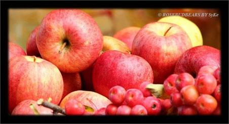 Apfelernte - sie müssen einzeln liegen, auf Abstand, damit sie lange halten